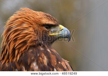Bateleur Eagle Looking for it's prew