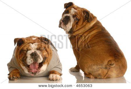 Bulldog Asking If My Butt Looks Fat