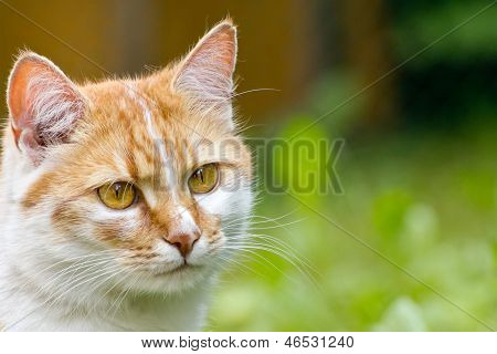 Head ginger cat