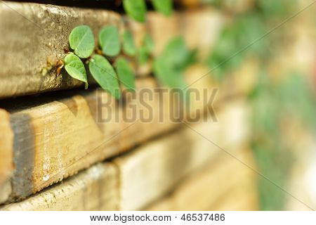 Creeper Plant On Old Bricks Wall.shallow Depth Of Field