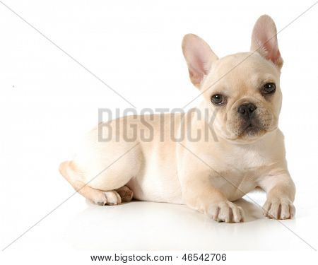 french bulldog puppy laying down looking at viewer isolated on white background - 13 weeks old poster