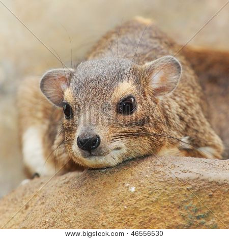 Funny animal portrait of The Rock Hyrax (Procavia capensis).  It is a medium-sized african mammal. The closest living relatives to hyraxes are the modern day elephants and sirenians.