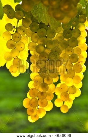 Yellow grapes growing on vine in bright sunshine poster