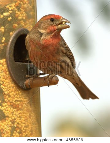 A Red Crossbill.