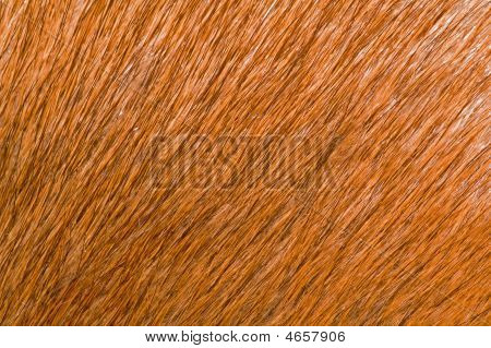 macro shot of brown animal fur musquash poster
