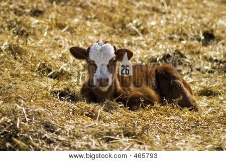 Resting Calf