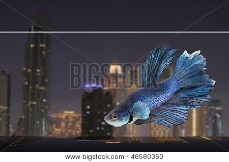 Siamese Betta With Night City Background