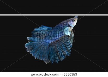 Half Moon Siamese Betta