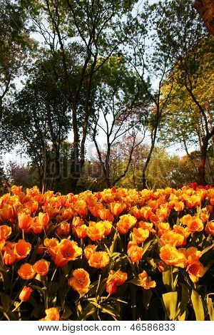 Orange Tulips during Sunset