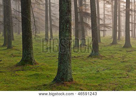 European Larch Forest