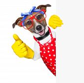 housewife dog with rubber gloves and thumb up behind a blank space poster