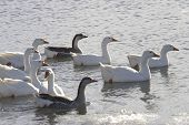 Several swans are swimming together in the water. poster
