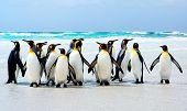 King Penguins at Volunteer Point Falkland Islands poster