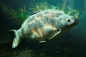 Underwater photo of a trophy Mirror Carp (Cyprinus Carpio) sunbathing nearly at level in a fish pond. Typical behavior in hot summer day. poster