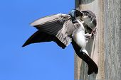 Tree Swallow (tachycineta bicolor) feeding hungry babies poster