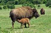 Buffalo or bison cow nursing her calf on the pasture poster