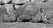 Indian Rhinoceros- mother and kid resting in he sun-black and white image poster