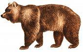 Bear big an illustration animals a nature flora fauna poster