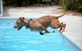 A dog diving off the side of a pool into the water during the summer poster