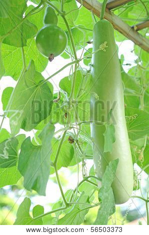 Opo Squash Tree