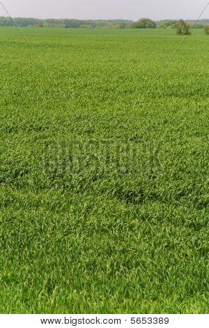 Wheat field (green grass background)