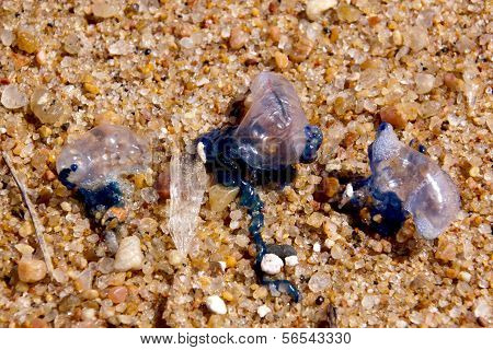 Dehydrating Bluebottles Washed Up By Waves On Shoreline