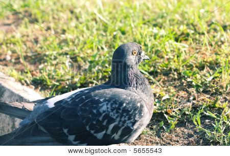 Close-up Of Gray Pigeon