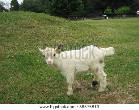 baby of african pygmy goat