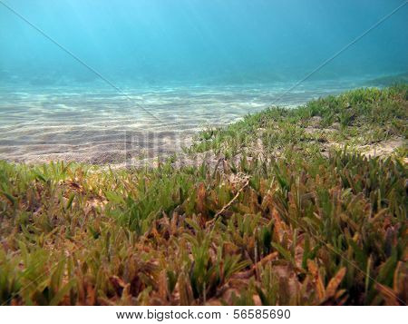 Seagrass meadow