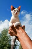 Little black and white Greek cat in the air poster