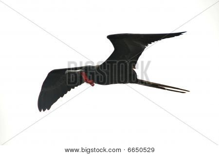 Frigate bird in mid-flight in sky of Galapagos
