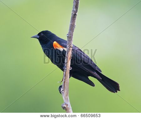 Red-winged Blackbird Profile
