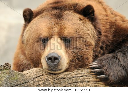 Alaskan Brown(Grizzly) Bear