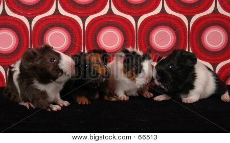 Four Baby Guinea Pigs