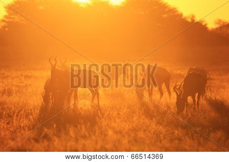 Red Hartebeest - African Wildlife Background - Sunset Beauty and Wonder