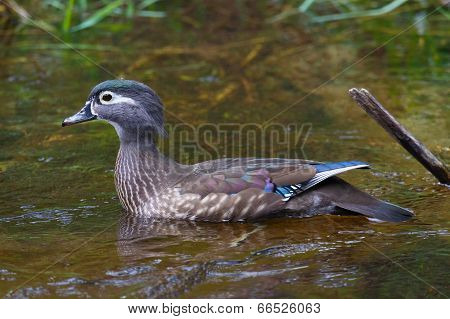 Female Wood Duck Closeup