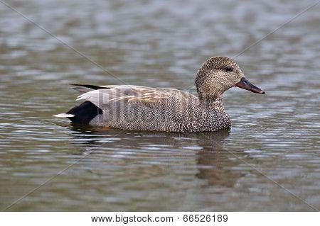 Gadwall Duck Closeup