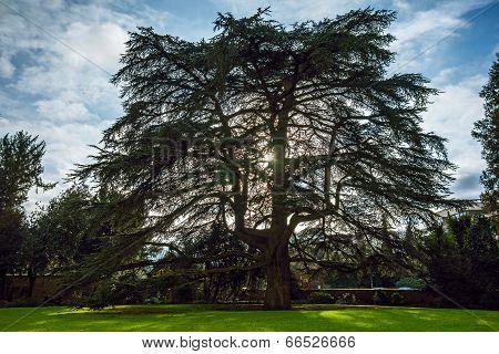 Cedar, Weinheim, Castle Garden
