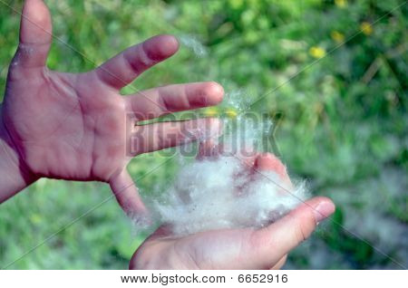 Poplar Fluff