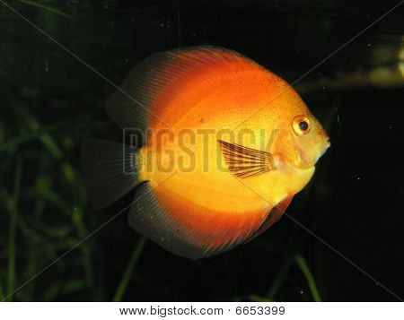 Discus selectively bred in Pigeon blood color for aquarium. poster