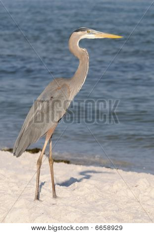 Grey heron on sandy beach