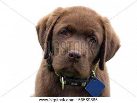 Cute chocolate labrador retriver puppy