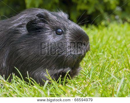 Guinea Pig (cavia Porcellus)