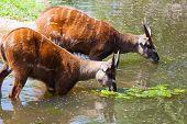Antelope Sitatunga eats water algae in the small lake poster
