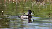A male Ring-necked Duck swimming in a pond with ripples. poster