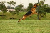 Am athletic german shepherd catches a flying poster