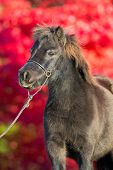 Brown shetland pony on red background poster