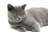 gray cat (breed scottish-straight age 65 months) close-up on white background. horizontal photo. poster
