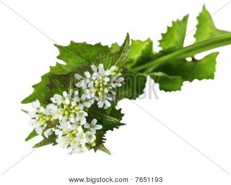 Garlic Mustard Wildflower