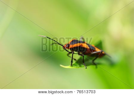 A little red bug on a blade of grass.